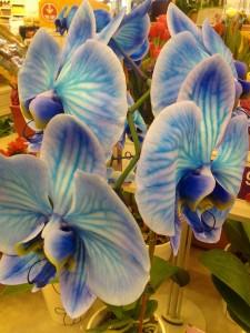 orhidee albastre
